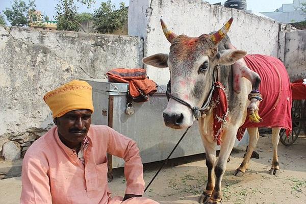 5 கால் மாட்டின் 5 ஆவது காலை தொடும் பெண்களுக்கு ஆண்குழந்தைகள் பிறக்கும் அதிசயம்