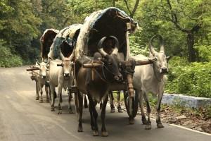 2365814-Bullock-Carts-2