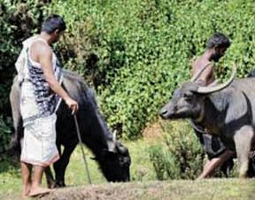 நீலகிரியில் ஆதிவாசி மக்களின் உப்பீட்டு பண்டிகை
